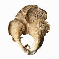 Oyster mushrooms have a chewy texture.