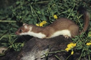 Long-tailed weasels are long, thin carnivores.