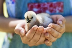 There are several methods to identify male and female chicks.