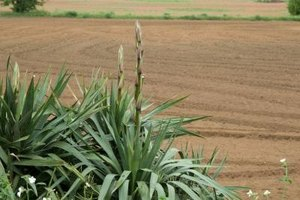 Yuccas are a member of the agave family.