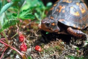 Box turtles both eat and hide in vegetation, so make sure the plants near your turtle are not toxic.