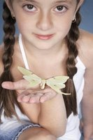 When complete, the looped sections of a butterfly braid will resemble the wings of a butterfly.