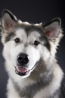 Learn how to feed your Siberian Husky the proper diet to meet its nutritional needs