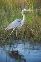 Herons are one type of bird that lives in wetlands