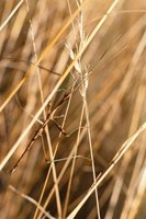 Walking sticks hide easily among grass and plants.