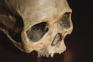 Biological anthropologists analyze skeletal remains to study human evolution.