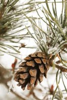 Cones are a cluster of woody scales tightly packed to protect the seeds inside.