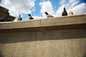 Pigeons tend to roost and culminate on and in large buildings.