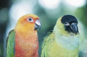 Conures, like this jenday and nanday, are not known for their ability to mimic speech clearly.