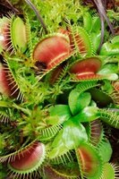 Venus flytraps only live in the eastern bogs of the Carolinas.