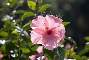 Hibiscus produces large, fragrant blooms.