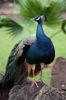 Peacocks are known for their colorful tails.