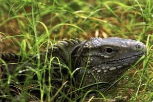 Komodo dragons are large monitor lizards.