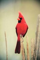 Male cardinals are bright red with black markings, and a striking crest on their head.