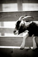 Without some amusement in their pen, goats will look for opportunities to escape.