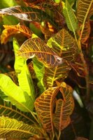 Variegated leaves add a splash of color to a plant.