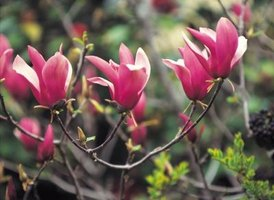 "Some magnolias, like ""Jane"" and ""Fairy Magnolia Blush,"" have dainty pink flowers."