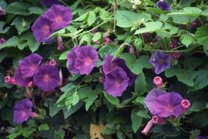 Morning glories can cover a tall fence with flowers in a single season.