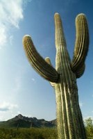 Saguaro cacti will bloom at night from April to June.