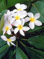 The delicate, waxy flowers of a plumeria tree.