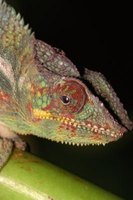 Chameleons can close their eyes, but most geckos cannot.