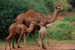Camels are native to Asia, Africa and South America.