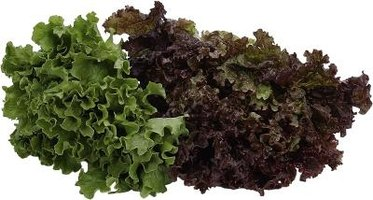 Trim leaf lettuce 2 to 4 inches for eating and rapid regrowth.