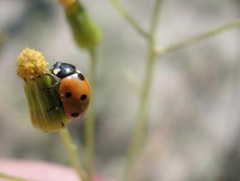 Ladybugs can be found in the garden.