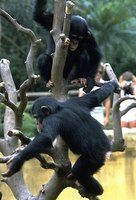 Chimpanzee and humans share 98.7 percent identical DNA, an almost equivalent set of genes.