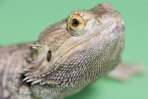 Bearded dragons are vulnerable to infections.