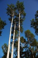 Quaking aspens are a species of poplar known for their cold hardiness.