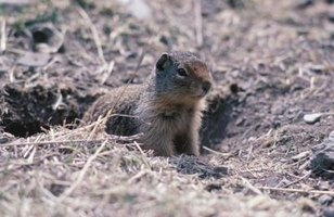 There are several natural ways to discourage gopher presence.