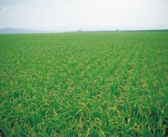 Wheat remains green through the winter to provide supplemental forage for deer.