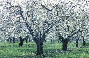 Fire blight affects pear and apple trees, as well as some ornamental plants.