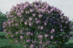 Common lilacs grow to various heights suitable for almost any garden.