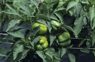 Northern climates cause problems for the subtropical pepper plant.