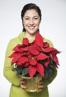 Poinsettias reflower every year given the correct care.