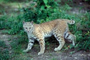 Bobcats will prey upon small animals and poultry.