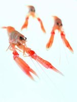 Crayfish thrive in freshwater environments.