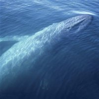 The blue whale is an endangered species.