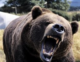 Grizzly Bears can be ferocious.