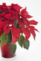 Poinsettia leaves will turn yellow if not properly cared for.