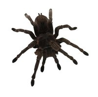 Wolf spiders are similar to tarantulas in appearance, but they are two very different creatures.
