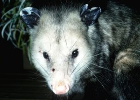 Possums under your backyard shed could lead to unwanted results if the issue isn't addressed.