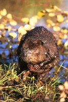 Beavers mainly sleep during the day in dens, which are often elaborate constructions.