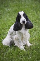 There are many different styles of cuts for cocker spaniels.