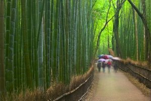 This large timber bamboo forest grows in Kyoto, Honshu, Japan.