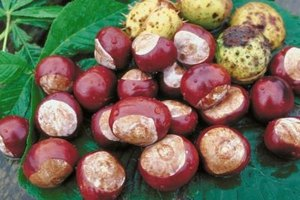 The buckeye nut contains tannic acids that need to be leached.