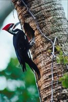 The pileated woodpecker lives in Wisconsin year-round.