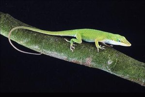 The green anole is one of Florida's native lizard species.